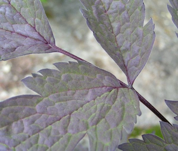 actaea-atropurpurea