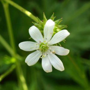 anemone-leveillei