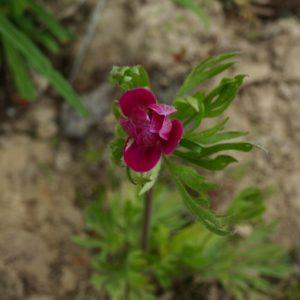 anemone-multifida-rubra-