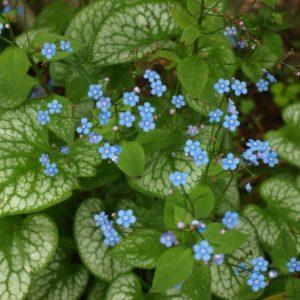 brunnera-macrophylla-jack-frost