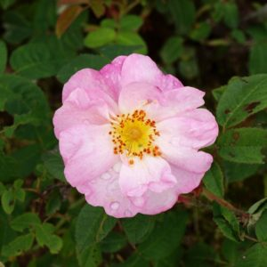 rosa-x-damascena-st-nicholas