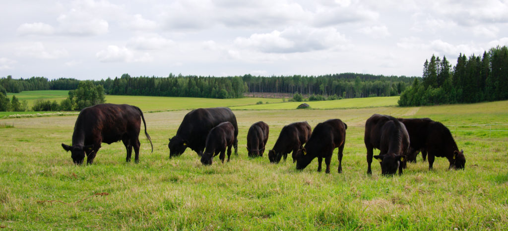 Betande kalvar och kor av rasen Aberdeen Angus