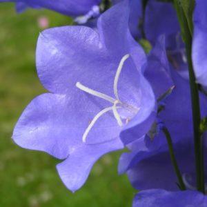 campanula-persicifolia