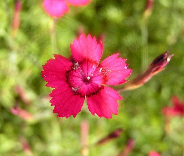 dianthus-deltoides-nelli