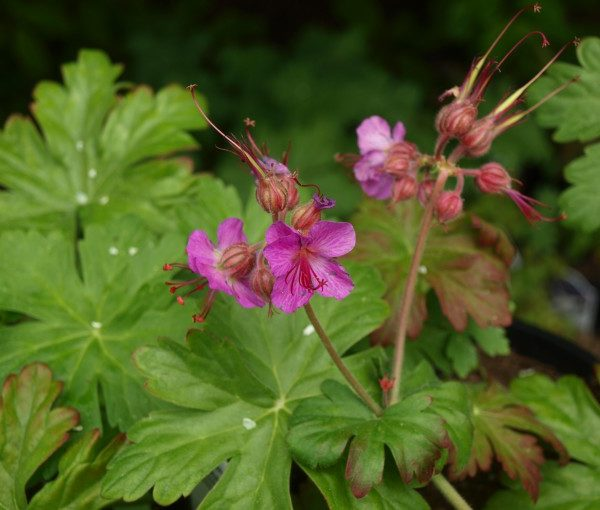 geranium-macrorrhizum-bevans-variety