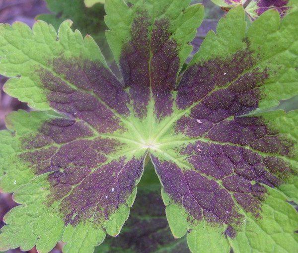 geranium-phaum