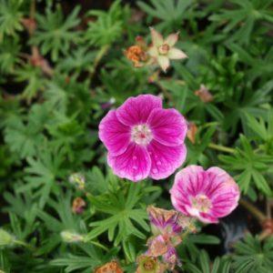 geranium-sanguineum-elke