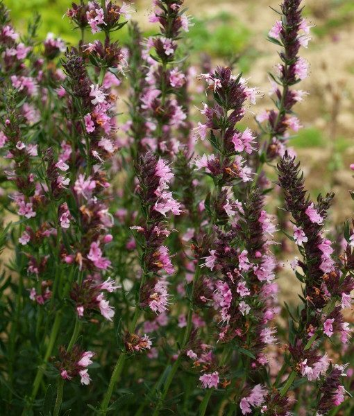 hyssopus-officinale