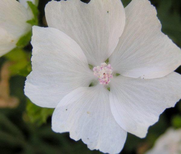 malva-moschata-alba