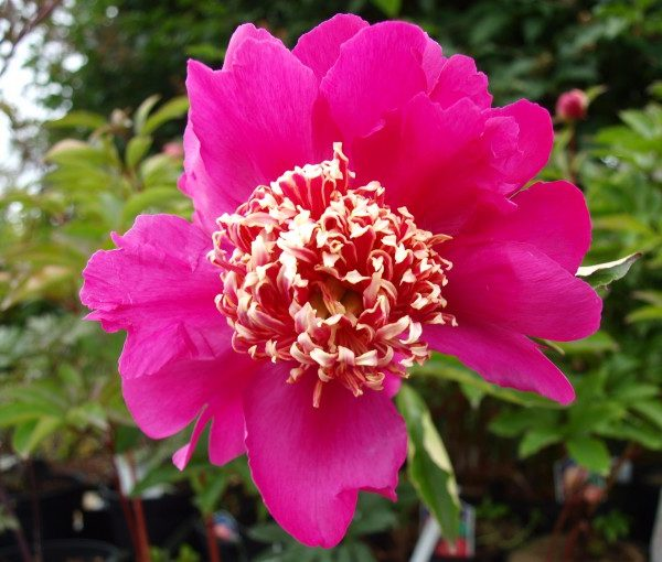 paeonia-barrington-belle