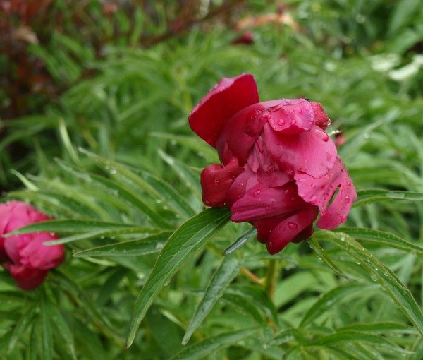 paeonia-early-scout