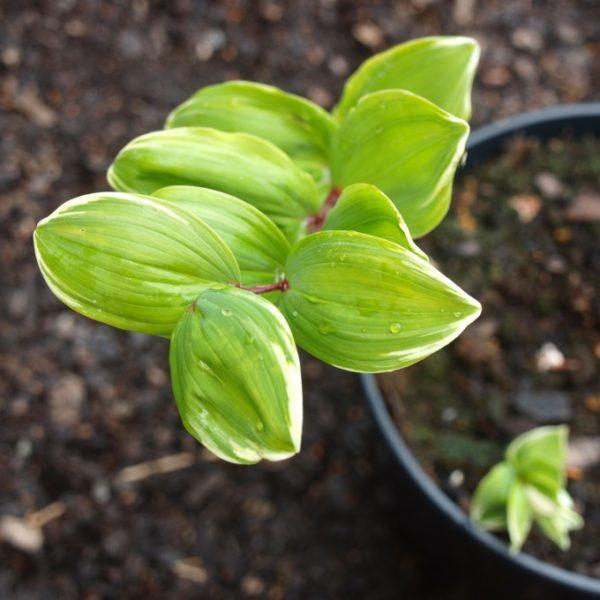polygonatum-falcatum-variegatum