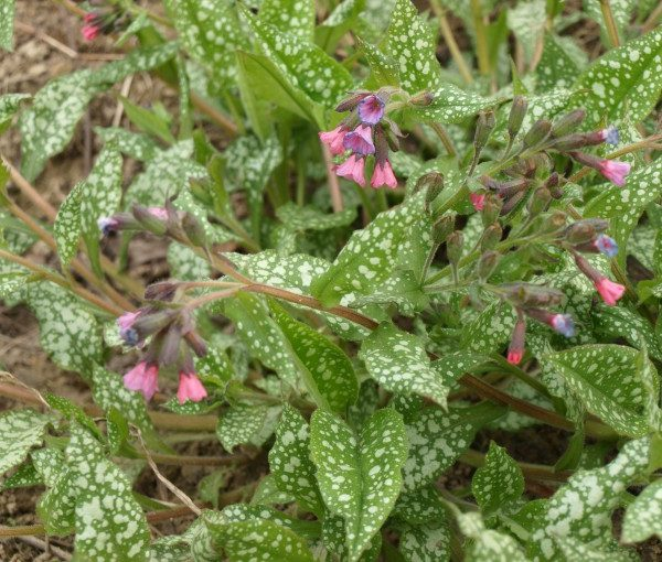 pulmonaria-saccharata-mrs-moon